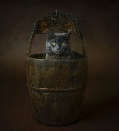 Gold award winning image of British blue cat in a old fashioned wooden barrel. Studio pet photography in Shrewsbury
