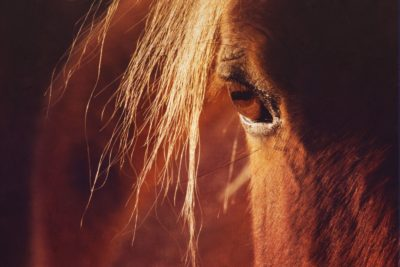 Close up artistic photo of the horses eye in sunlight. Chestnut horse photo